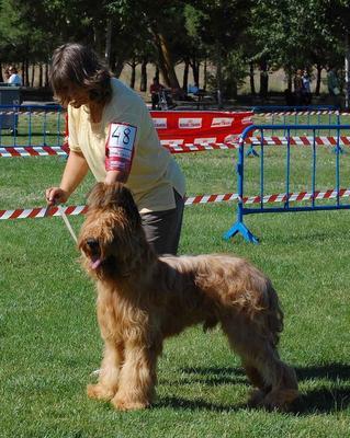 Tandy de Dasilva, perro de raza Pastor de Brie