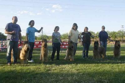 Perros de raza Pastor de Brie