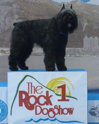Kyt de Dasilva, perro de raza Bouvier des Flandres