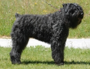 CH. Kao Khane de Dasilva, Bouvier des Flandres