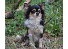 CH. Ñora de Dasilva, Chihuahua de Pelo Largo