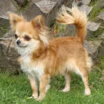 CH. Pachampana de Dasilva, Chihuahua de Pelo Largo