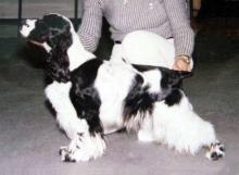 CH. Peggy Estrella de Dasilva, Cocker Spaniel Igles