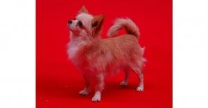 CH. Vycko de Dasilva, Chihuahua de Pelo Largo