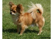 CH. ZAMBO DE DASILVA, Chihuahua de Pelo Largo