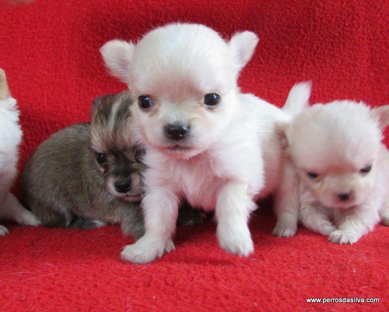 Fotos de cachorros chihuahua pelo largo 27