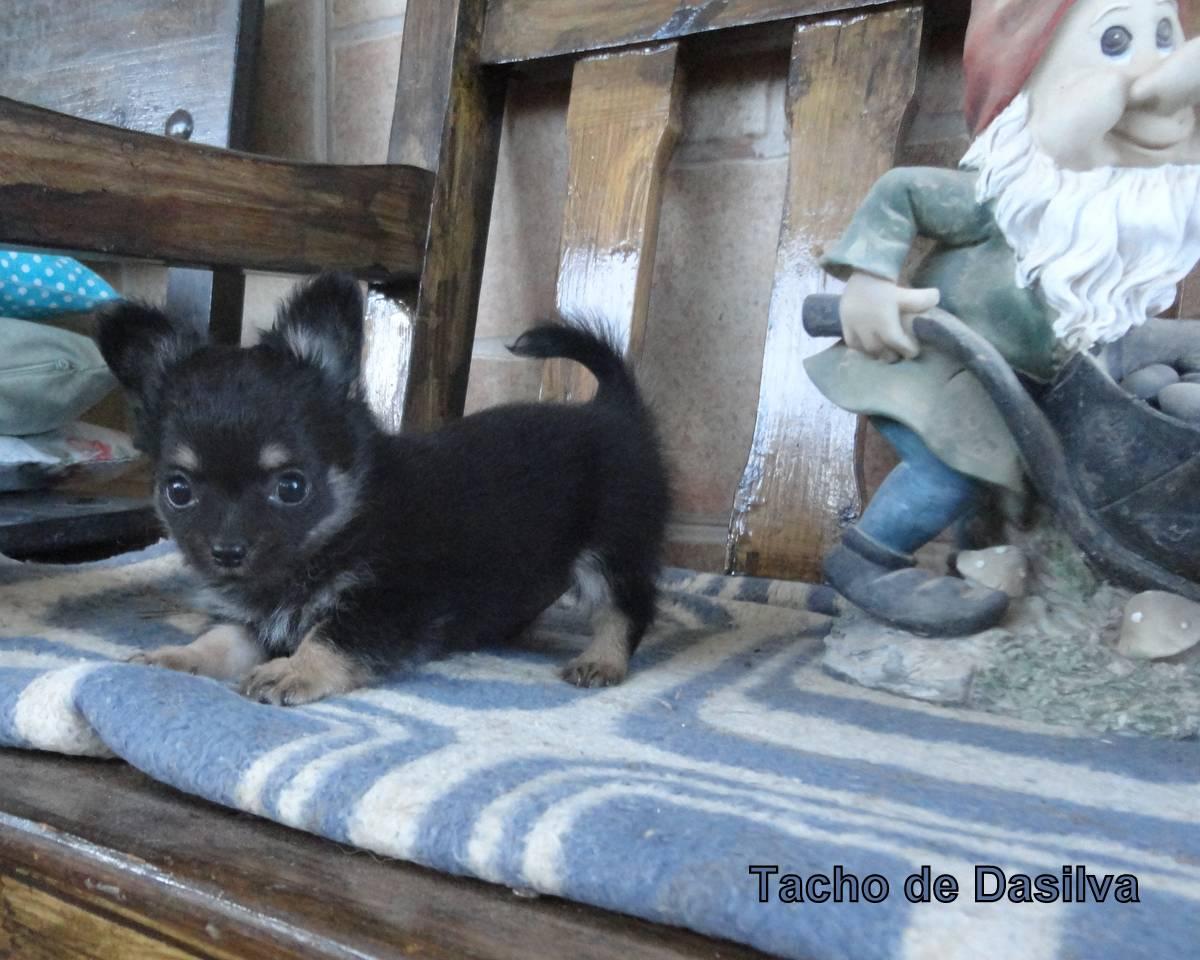 Chihuahua pelo largo de Dasilva, cachorros pequeños