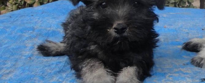 Cachorro de Schnauzer miniatura