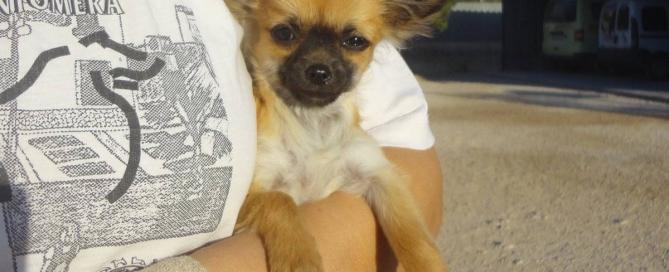 Chihuahua pelo largo hembra