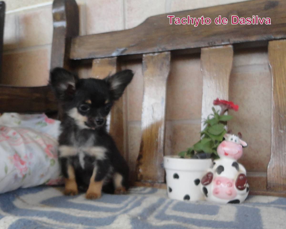 Chihuahua de Pelo largo macho de Dasilva