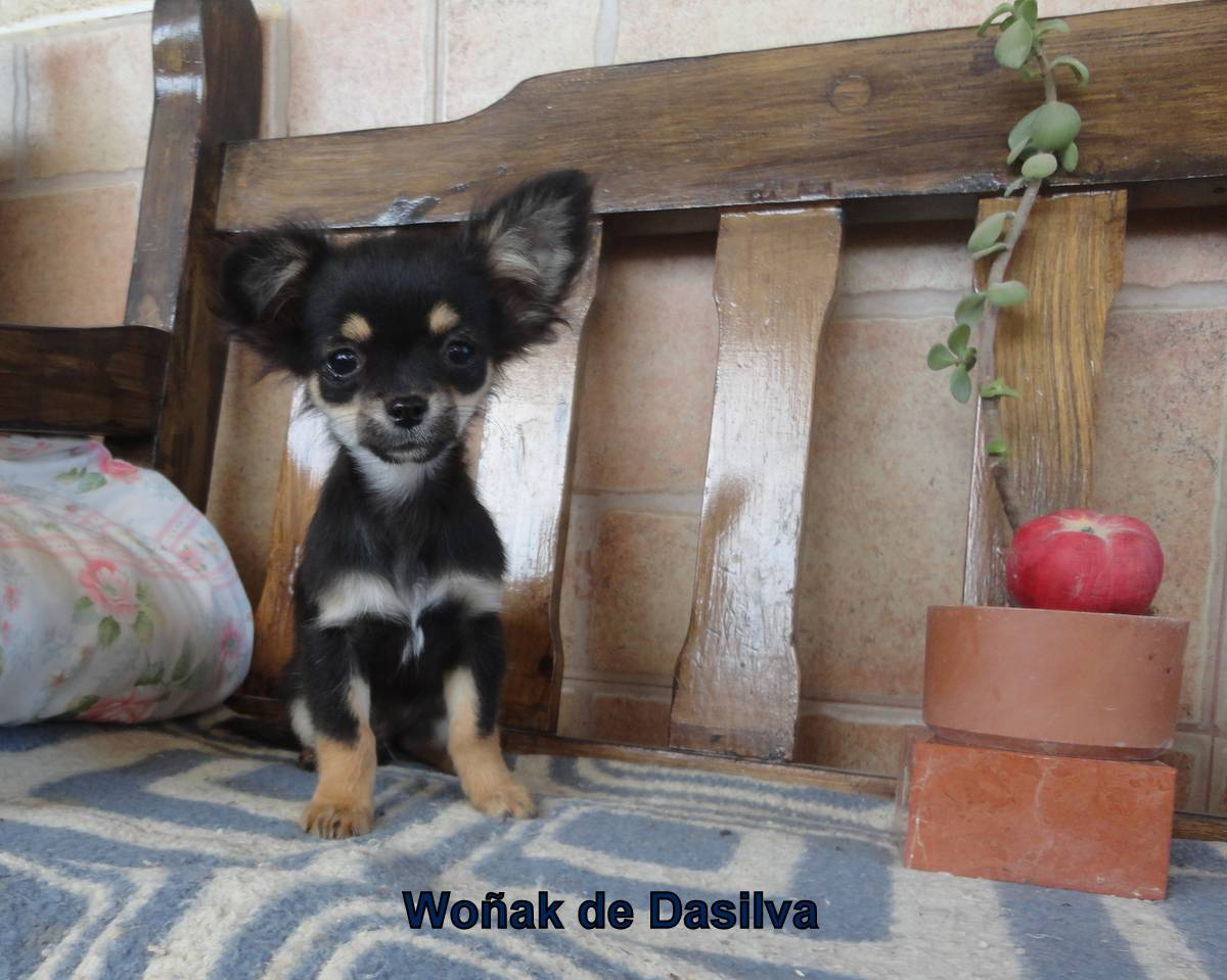 Chihuahua de pelo largo  4 meses, un poco descarado y sinvergüenza