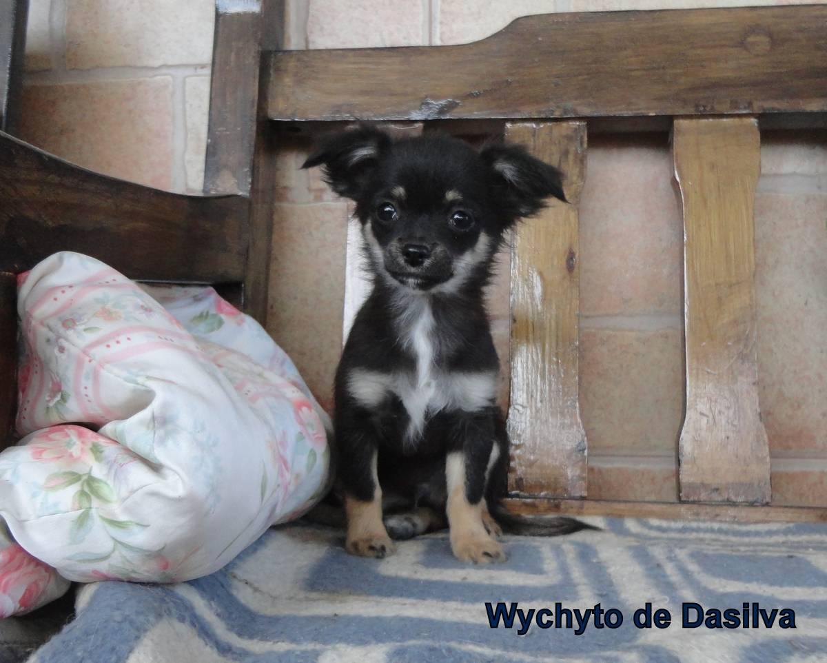 Chihuahua de pelo largo, 4 meses muy curioso