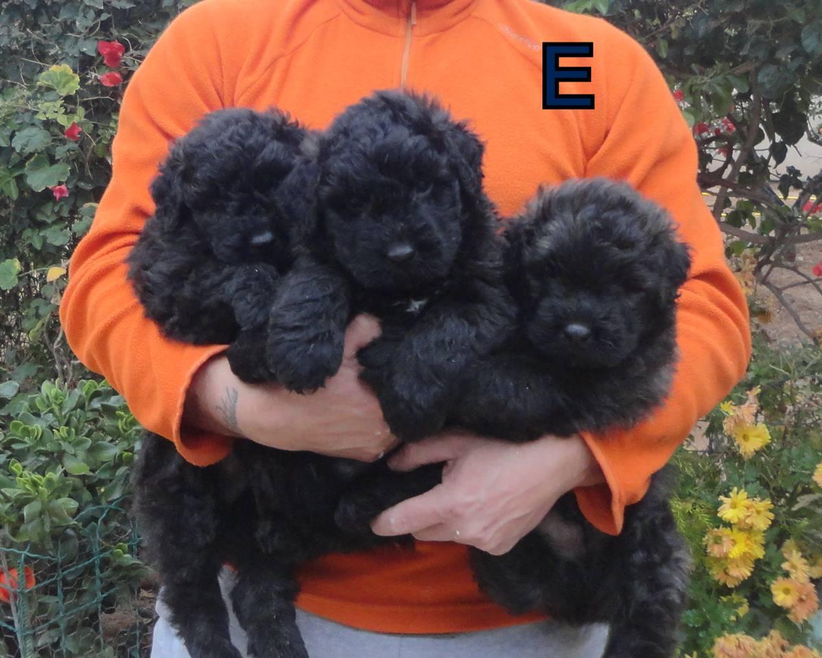 Cachorros de Bouvier des Flandres, perros Dasilva