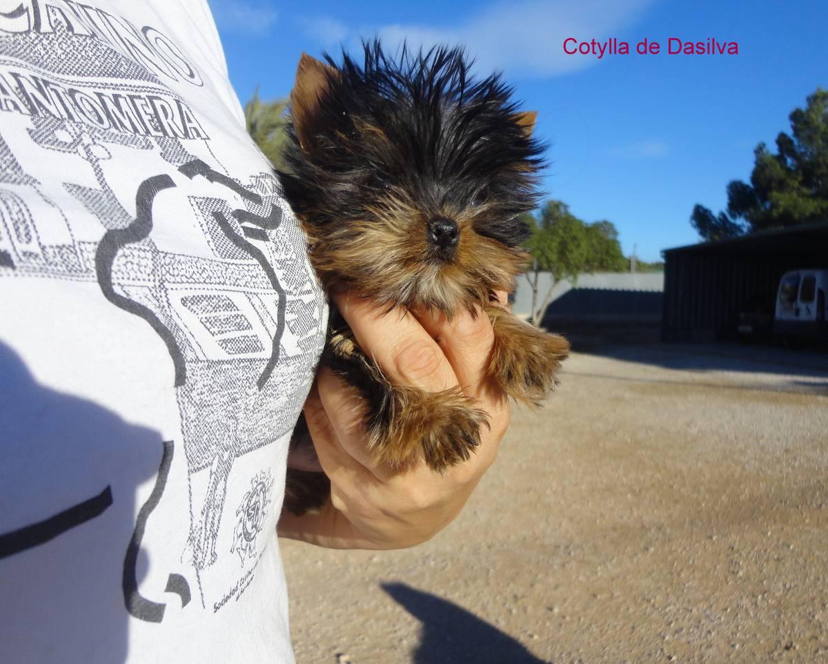 Cachorrita de Yorkshire Terrier toy o miniatura