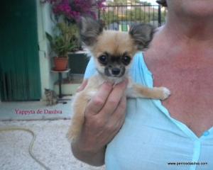 Yapyta de Dasilva Chihuahua de pelo largo