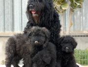 Bouvier de Flandes Cachorros