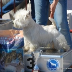 Cocopaulus Royal Bel, campeón de belleza, West Highland white terrier