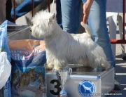 Cocopaulus Royal Bel, campeón de belleza, West Highland white terrier