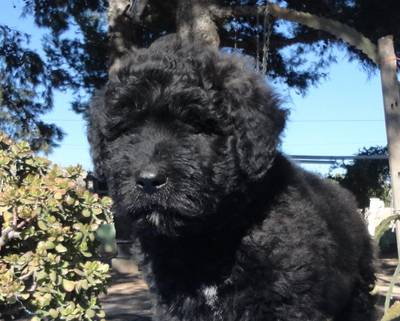 Eyworo de Dasilva impresionante cachorro macho