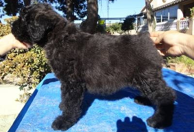 Cachorro Eyworo de Dasilva