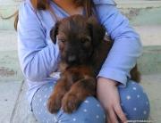 Cachorro Pastor de Brie Dasilva