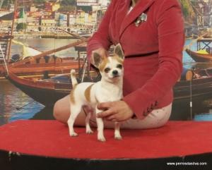 Burryta de Dasilva Chihuahua de Dasilva