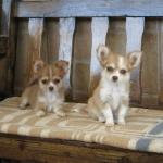 Nyna  y Nory de Dasilva Chihuahua pelo largo, Chocolate
