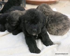 Bouvier Puppy C