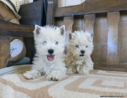 Westy Terrier blanco