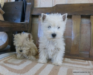 Westy Terrier blanco PerrosDasilva