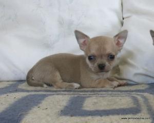 Chihuahua de pelo corto PerrosDasilva