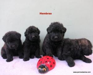 Cachorros Bouvier de Flandes Z