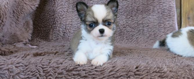 Chihuahua pelo largo cachorro A