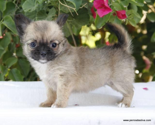 Chihuahua Cachorro Dasilva