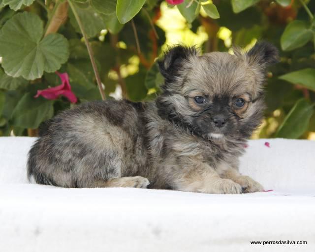 Cachorrita Chihuahua
