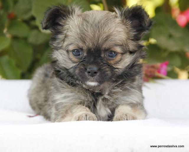 Cachorrita Chihuahua Dasilva