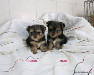 Cachorro Mestizo HM