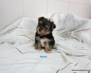 Cachorro Mestizo M