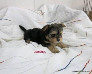 Cachorro Mestizo H