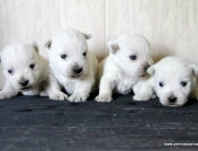Cachorros de West Highland white terrier, westy o westi, perros Dasilva