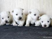 Cachorros de West Highland white terrier, westy o westi, perros Dasilva