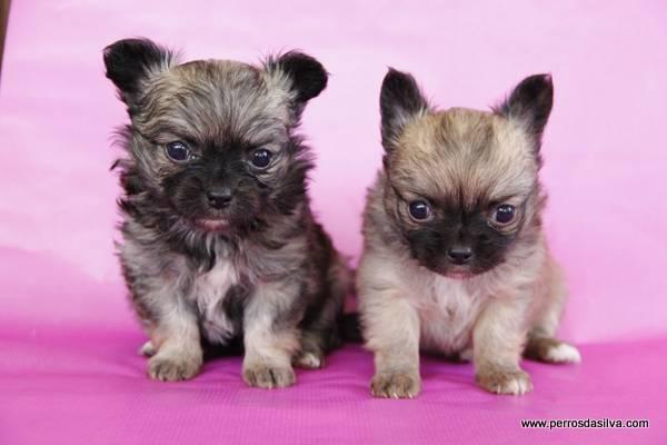 Cachorros de Chihuahua de Pelo Largo, perros Dasilva