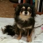 Sacha de Dasilva Chihuahua de pelo largo