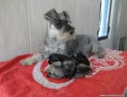 Schnauzer Mama