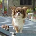 Tara de Cañadoña, Chihuahua de pelo largo