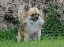 C:H. Xampan de Dasilva, Chihuahua de Pelo Largo
