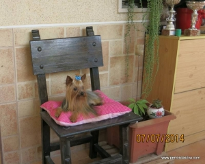 Yorkshire Terrier Macho Yellyzo de Dasilva