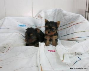 Yorkshire terrier dasilva