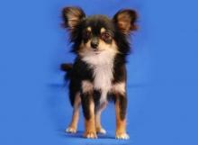 Zalerosa de Dasilva Chihuahua de Pelo Largo