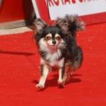 CH. Zalamera de Dasilva, Chihuahua de Pelo Largo
